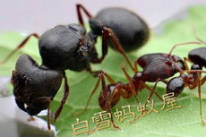 Муравей Pet ants pheidole