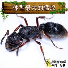 Муравей Ant world Pachycondyla Rufipes