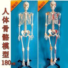 Детская игрушка XING Tao medical 170cm